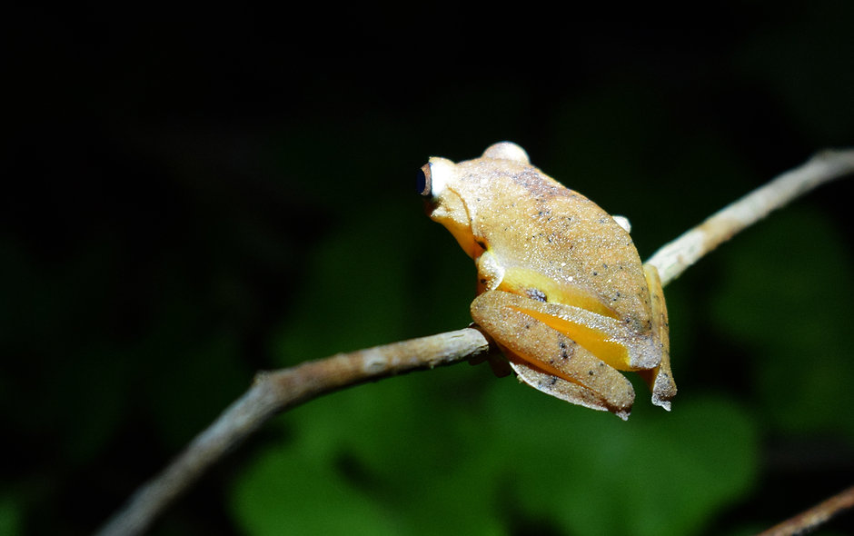 Twin spotted tree frog (Rhacophorus bipu