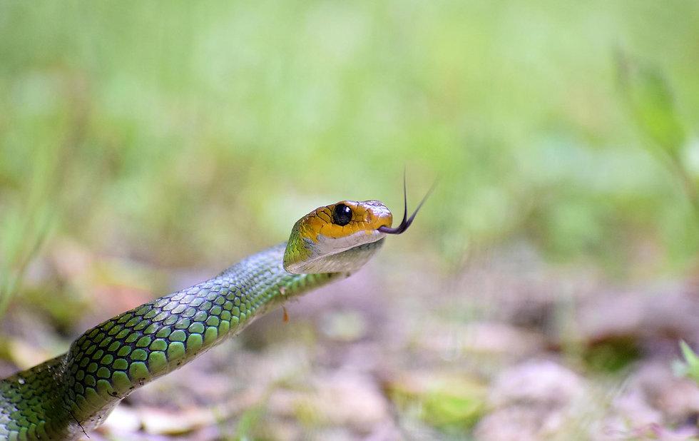 Green Rat Snake (Ptyas nigromarginata) .