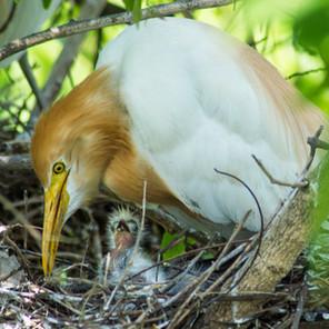 The Urban Heronries - Woe or Blessing?