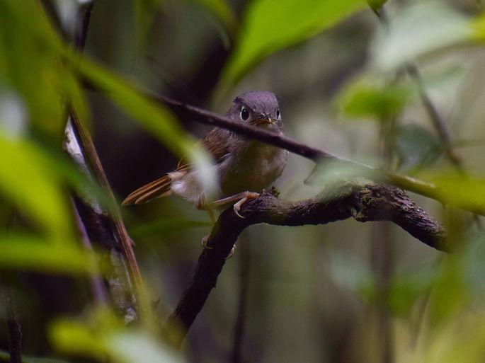 Nepal fulvetta (Alcippe nipalensis).jpeg