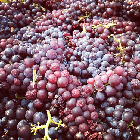 Muscat grapes bunches from Margaret River