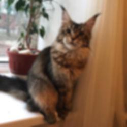 Xantia Respectcoon, 8 months, my girl ♥️