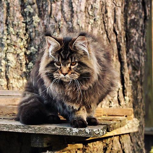 Norman Katrin Style кот питомника Rococo