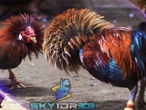 Cara Daftar Sabung Ayam Online S128 (S1288) Terbaru