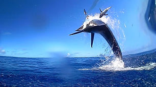 Black Marlin Jumping 12.jpg
