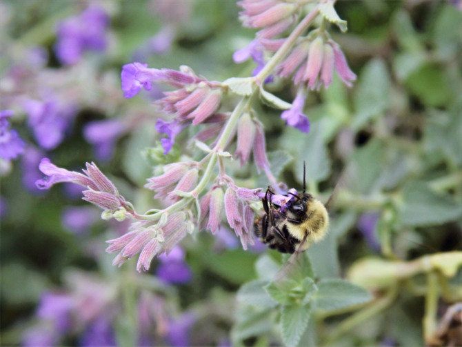 Catmint Bumblebee