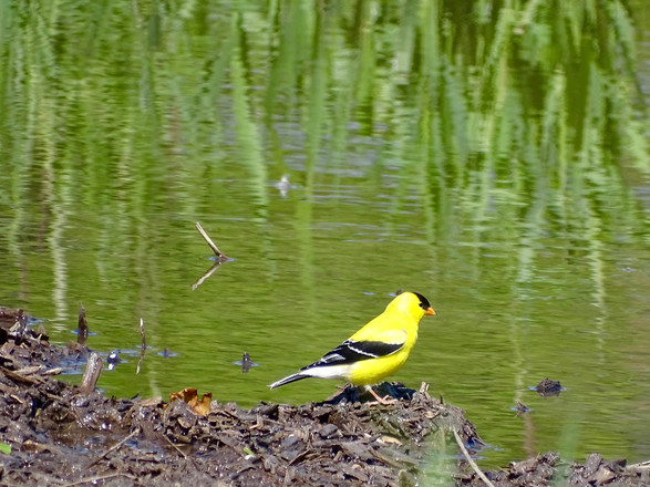 Reflection | American Goldfinch