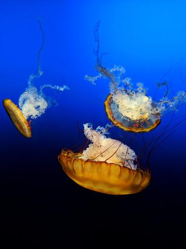 Descending Jellyfish
