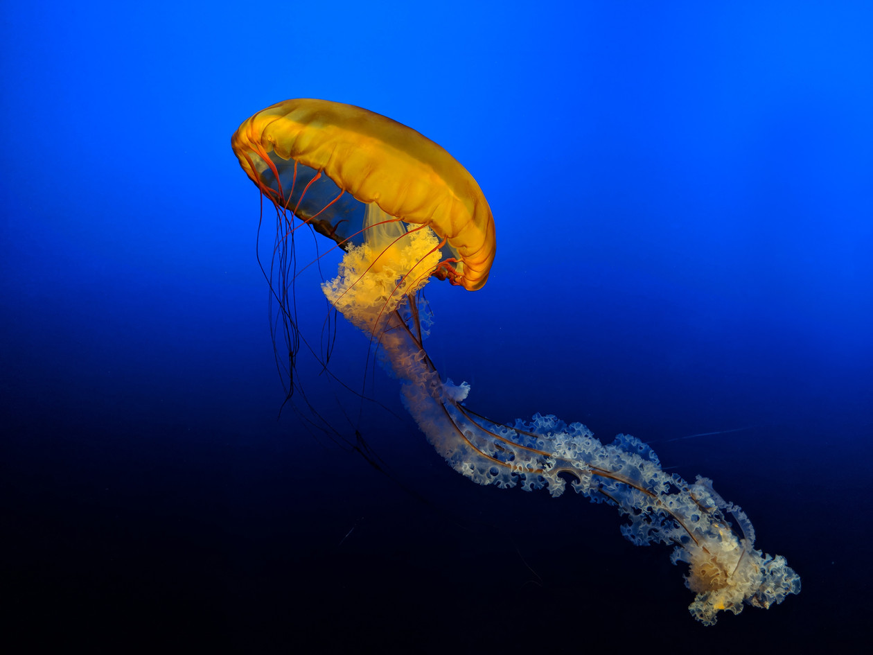 Ascending Jellyfish