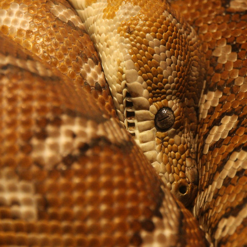 Eye of the Blood Python