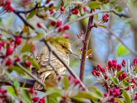 Cleopatra | American Goldfinch