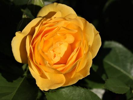 Julia Child Blossom