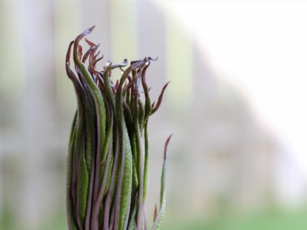 Voodoo Lily - Phase II