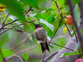 Pip | Ruby-Throated Hummingbird