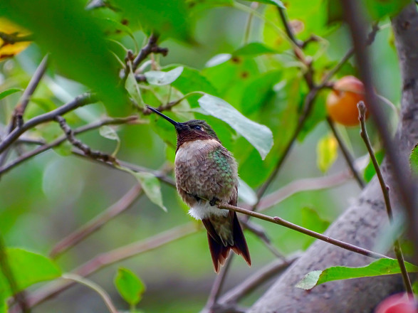 Pip | Ruby-Throated Hummingbird