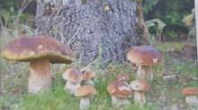 Un été moche... pour les champignonneurs