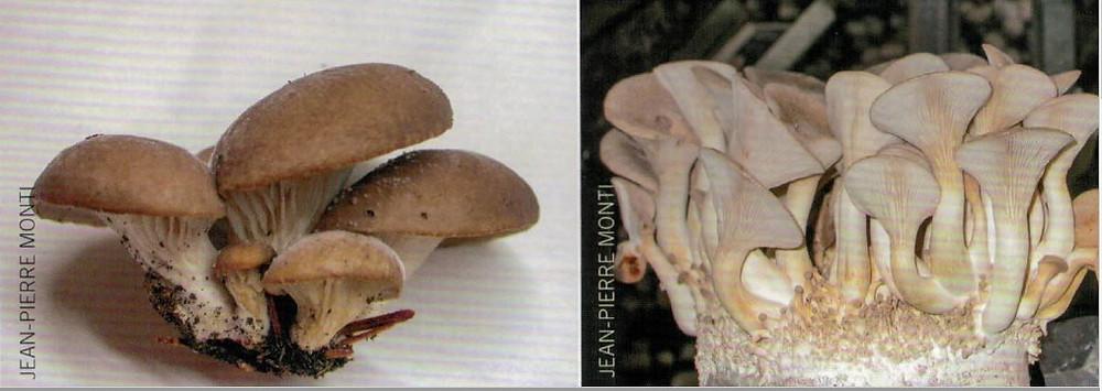 Pleurotus ostreatus et pleurotus eryngii