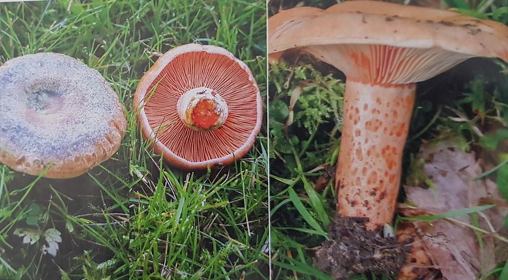Lactarius deterrrimus et slamonicolor