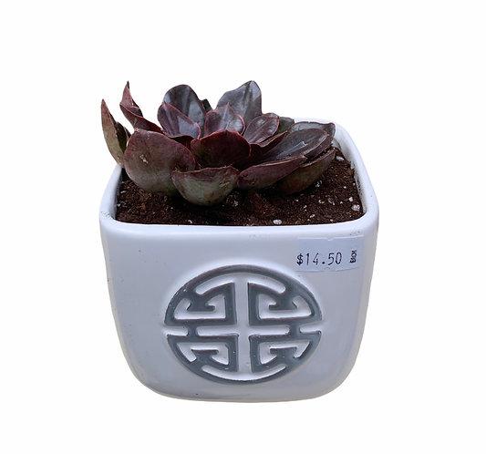 Succulent - Ceramic Pot