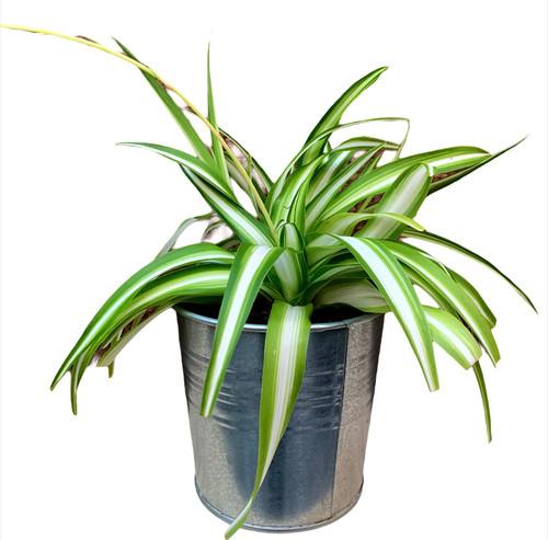 Spider Plant - Metal Pot