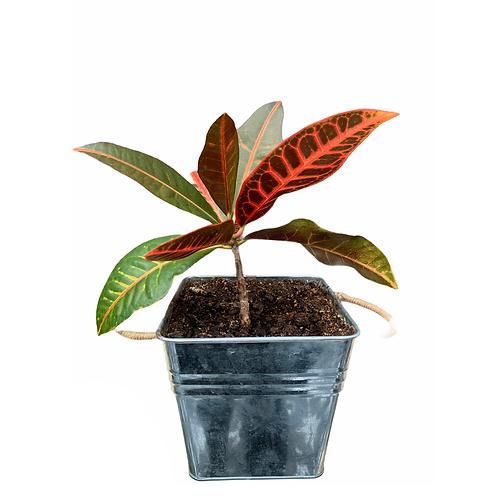 Tropical Plant - Tin pot