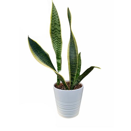 Snake Plant - Ceramic Pot