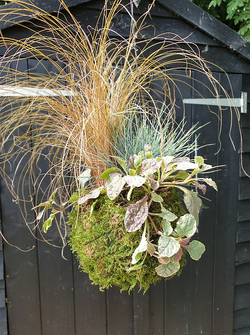 Autumn/Winter Evergreen Planted Kokedama