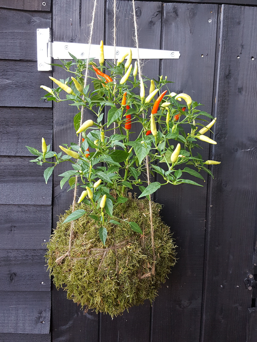 Hanging Chilli Plant Kokedama