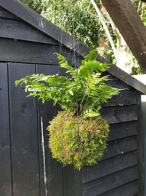 Single Fern Kokedama