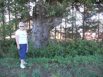 1. The very ancient pollarded oak tree i