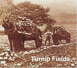 Harvesting turnips.png