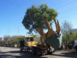 Reliable Tree Relocation Services in Mountain View, CA