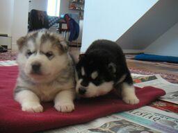 Adam & Lewis puppies.jpeg