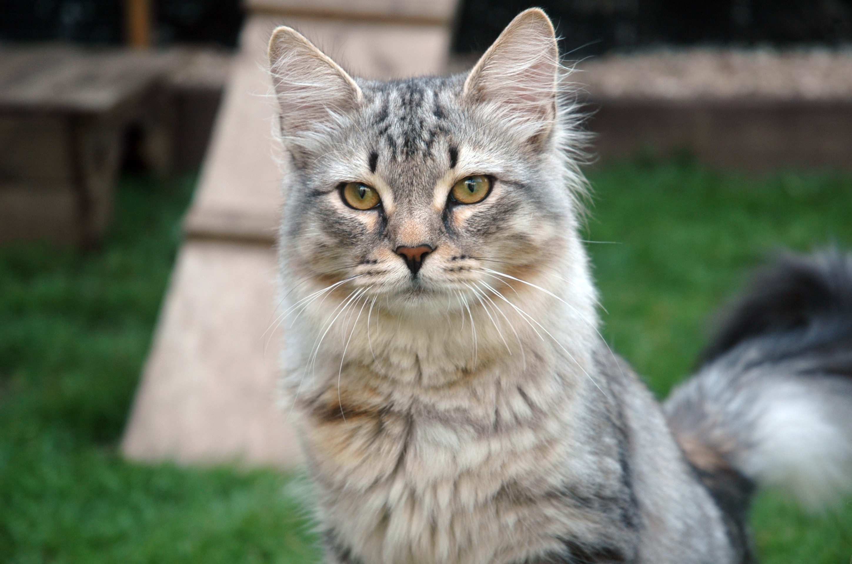 Adopt A Siberian Cat Uk
