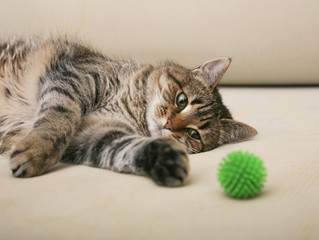 Do Hypoallergenic Siberian Cats get lonely if left home alone over the Holidays?