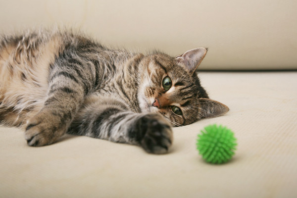 Hypoallergenic Siberian Cat resting after playing with a ball
