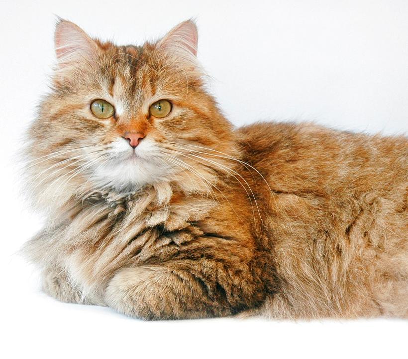 Hypoallergenic Cats UK | Siberian Cat Breeders | Forest ...