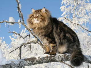 Hypoallergenic Siberian Cats and their Wild Instincts