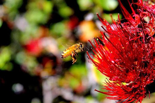 hawaiian-honey-bee-kawika-singson.jpg