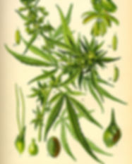 324px-Illustration_Cannabis_sativa0.jpg
