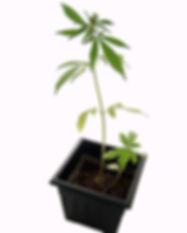 540px-Marijuana_plant.jpg