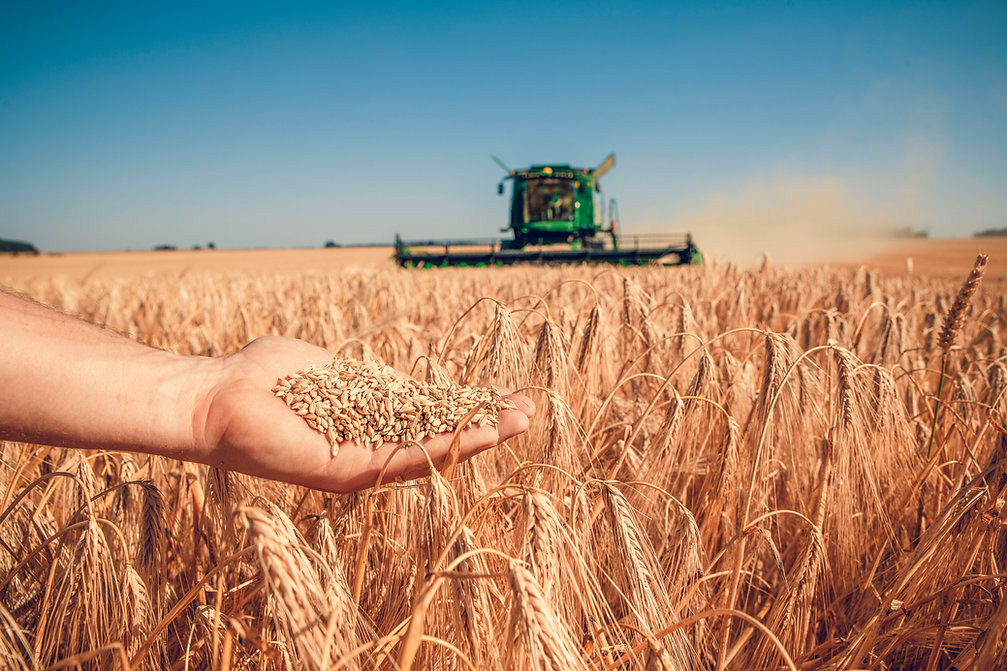 Field of barley (Olivier Douard-2019).jp