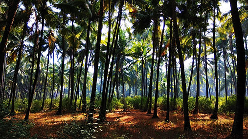 Coconut Forests .jpg