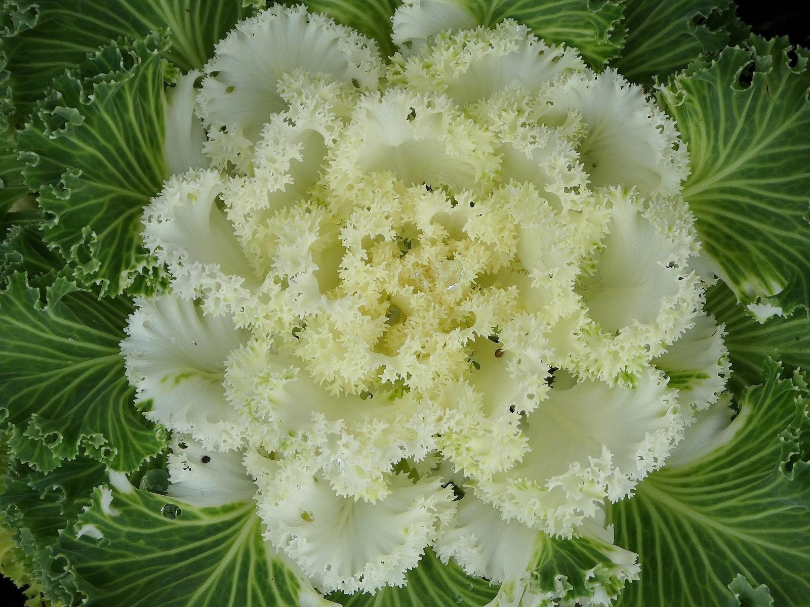 White Cabbage Flower