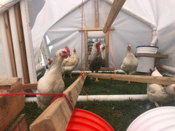 sussex hens in new mobile home