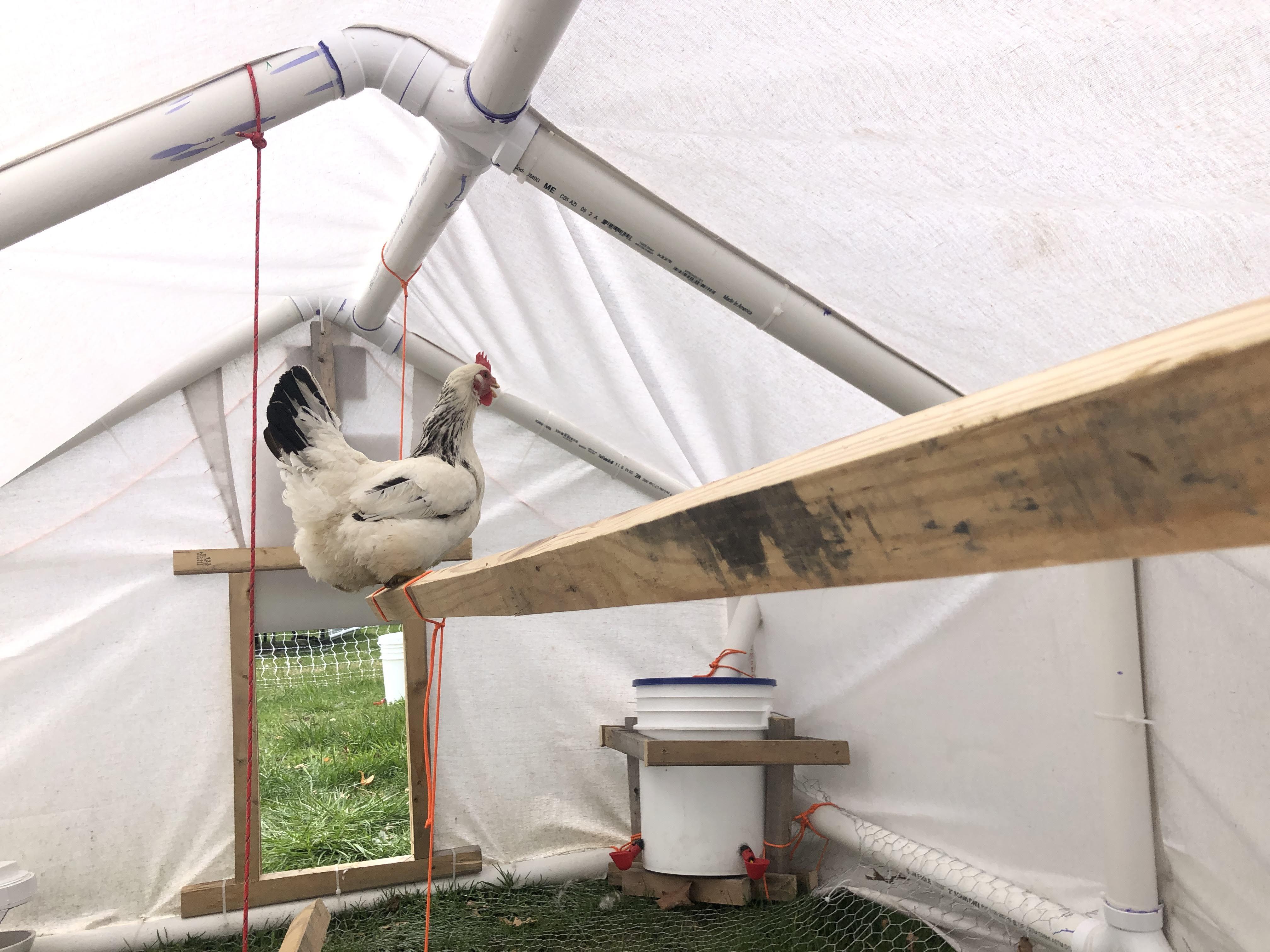 sussex hen  hanging