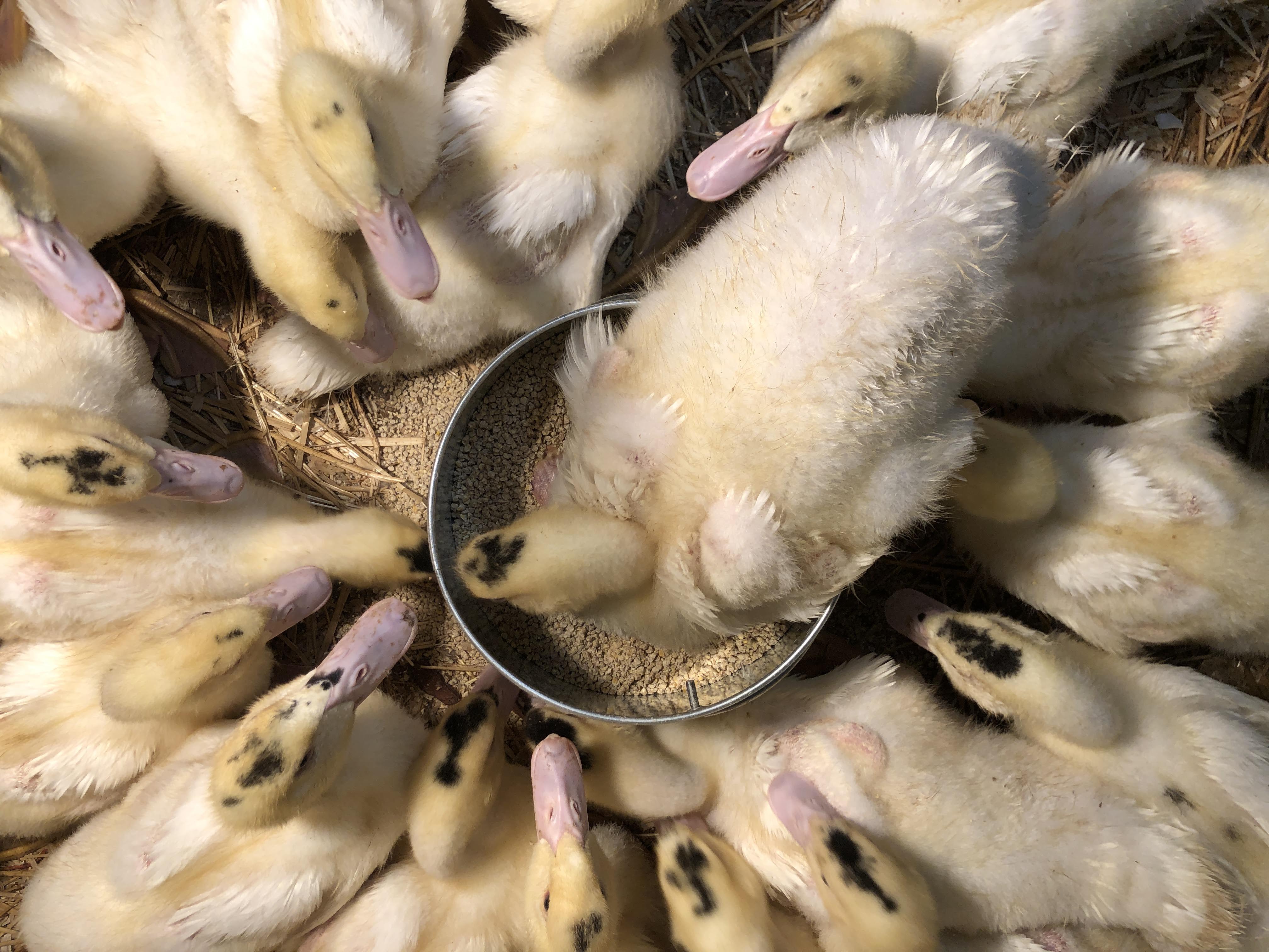 moulard ducks