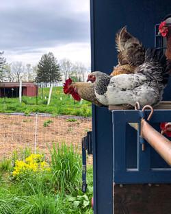 hens and rooster hanging