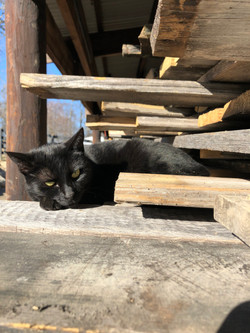 barn cat lounging