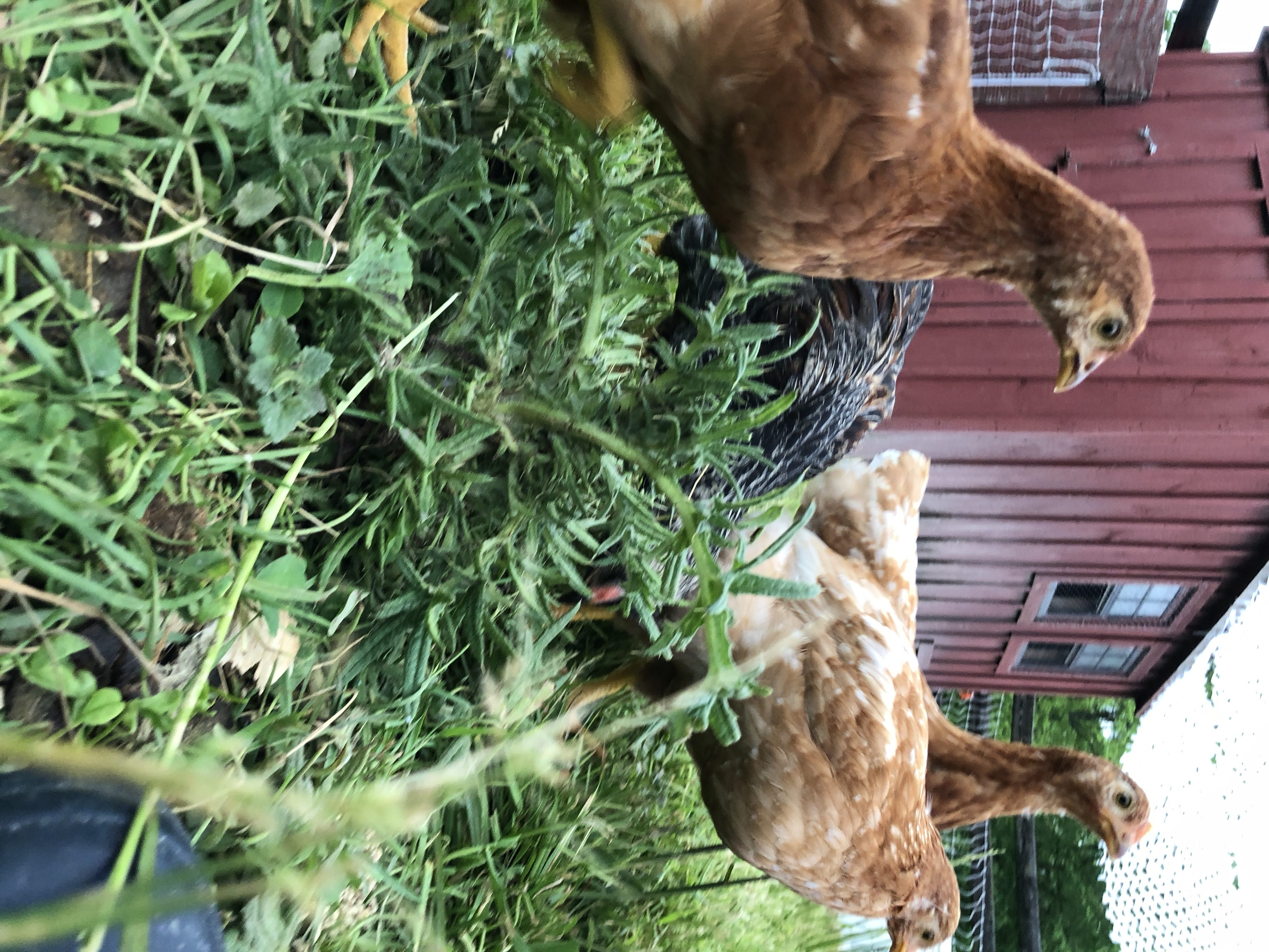 hens (black australorp in there)